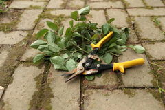 Garden Shears and Rose Clippings Stock Photo
