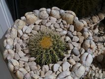A garden of shells with cactus plants. A pot with white shells and pebbles with a golden ball or barrel cactus royalty free stock photo