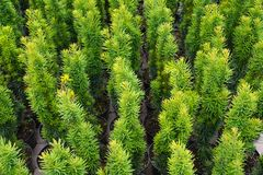 Free Garden Shop. Common Yew In Pots, Variety: Taxus Baccata `Fastigiata Royalty Free Stock Photo - 152931855