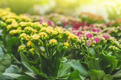 Garden shop. Many colorful flowerpot in the store, close up. Nursery of plants and flowers for gardening. Botanical garden, flower farming, horticultural royalty free stock photos
