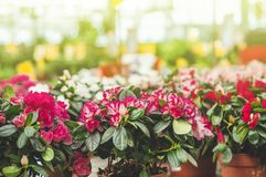 Garden shop. Many colorful flowerpot in the store, close up. Nursery of plants and flowers for gardening. Botanical garden, flower farming, horticultural royalty free stock photography