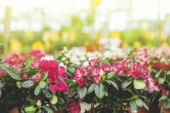 Garden shop. Many colorful flowerpot in the store, close up. Nursery of plants and flowers for gardening. Botanical garden, flower farming, horticultural stock image