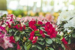 Garden shop. Many colorful flowerpot in the store, close up. Nursery of plants and flowers for gardening. Botanical garden, flower farming, horticultural stock images