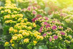 Garden shop. Many colorful flowerpot in the store, close up. Nursery of plants and flowers for gardening. Botanical garden, flower farming, horticultural royalty free stock images