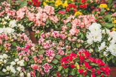 Garden shop. Many colorful flowerpot in the store, close up. Nursery of plants and flowers for gardening. Botanical garden, flower farming, horticultural stock photo