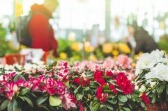 Garden shop. Many colorful flowerpot in the store, close up. Nursery of plants and flowers for gardening. Botanical garden, flower farming, horticultural stock photos