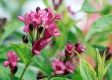 Garden shrub with   flowers weigela Stock Photo