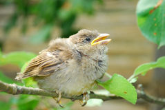 In the garden, sitting on a branch of a small nestling sparrow Stock Photos