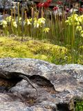 Garden: skink with pitcher plants Royalty Free Stock Image