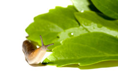 Garden Slug Stock Image