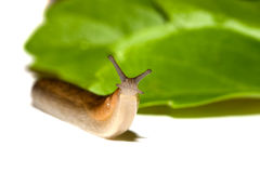 Garden Slug Royalty Free Stock Images