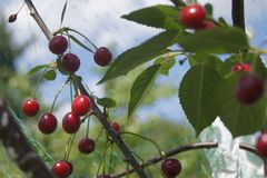 The garden smells of homemade cherries royalty free stock image