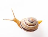 Garden snail Royalty Free Stock Photography