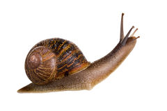 Garden snail. On a white background with his feelers up Royalty Free Stock Images
