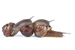 Garden snail Royalty Free Stock Photos