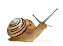 Garden snail. The garden snail in front of white background Royalty Free Stock Photos