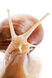 The garden snail Royalty Free Stock Photo