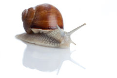 Garden Snail. On a white background with some reflections Stock Photos