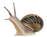 Garden Snail. In front of white background Stock Images