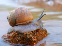 Garden snail Royalty Free Stock Images