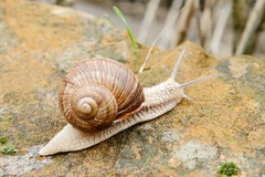 Garden snail. On its way to the food Royalty Free Stock Photo