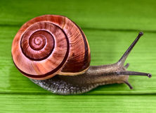 Garden snail. With beautiful colorful shell on  green leafs Stock Image