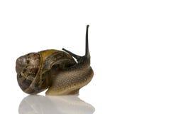 Garden snail Royalty Free Stock Image