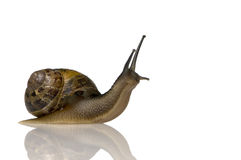 Free Garden Snail Royalty Free Stock Photos - 2809528