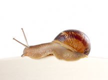 Garden snail Stock Photography