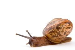 Garden snail Royalty Free Stock Photos