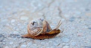 Garden snail on apshalt road Stock Photography