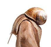 Garden snail bend over stone Royalty Free Stock Photo