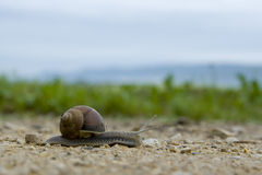 Garden snail on a blurry background. Garden snail close-up, mosquito sitting on a shell. grainy soil Royalty Free Stock Image