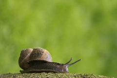 Garden snail on a branch Royalty Free Stock Image