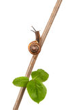 Garden snail on a branch, isolated on white. Background royalty free stock photography