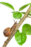 Garden snail on a branch, isolated on white. Background stock photos