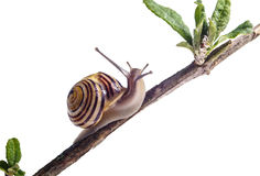 Garden Snail Royalty Free Stock Photography