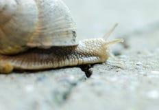 Garden snail close up. Stock Photos