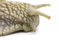 Garden snail closeup. On white background Royalty Free Stock Image