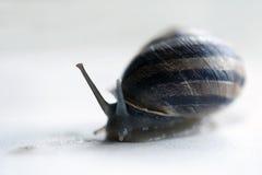 A garden snail Stock Images