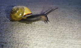 Garden Snail. A garden snail on concrete Royalty Free Stock Photography