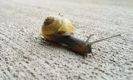 Garden Snail. A garden snail on concrete Royalty Free Stock Images