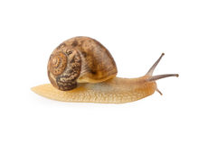 Garden snail crawling Royalty Free Stock Photos