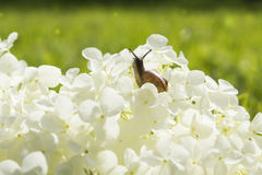 Garden snail crawling on a big white flower Stock Images