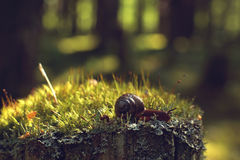 The garden snail crawls along the moss in the forest Royalty Free Stock Photo