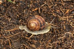 Garden snail crawls on ground. Ground gastropod. Helix pomatia stock image