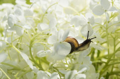 Garden snail crawls inside a big white flower Royalty Free Stock Image
