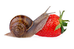 Garden Snail creeping on red berry strawberry Royalty Free Stock Photos