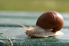 Garden snail creeps on a bench. Stock Image