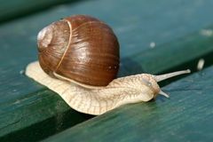Garden snail creeps on a bench Stock Images